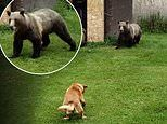 Courageous moment two pet dogs confront a family of grizzly bears rummaging for food in Canada
