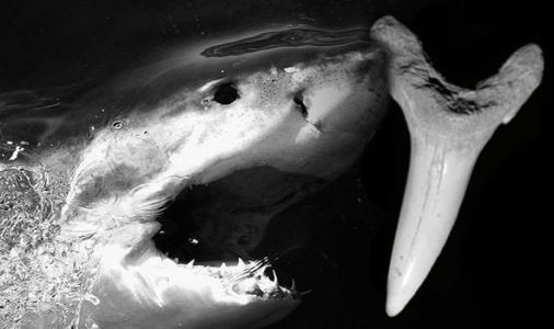 Shark discovery: A prehistoric monster with 'needle-like' teeth was found in America