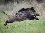 Pig st-HIGH! Wild boars EAT £17,000 stash of cocaine left in a Tuscan forest by gangsters