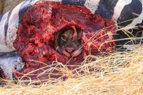 Shocking image shows lion chewing its way out of zebra carcass freaks out Reddit users