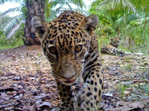 Jaguars under threat from palm oil expansion