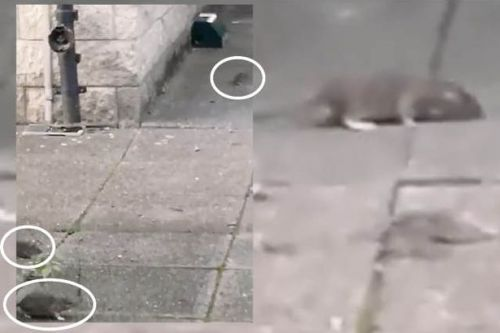 Horrifying video shows rats scurrying around Glasgow street in broad daylight