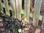 Dog pokes its nose under fence and stares at ball just inches out of reach