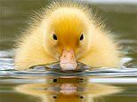 It's quackers! Duckling causes a splash as reflection shows four pairs of eyes