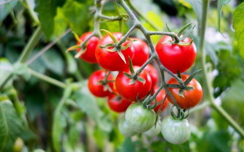 Tomatoes and lavender at risk of decimation by foreign pests, RHS warns gardeners