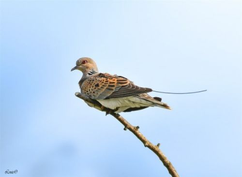 A year in the life of. a Turtle Dove