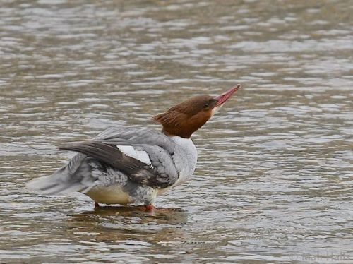 Cull to begin on cormorants and goosanders