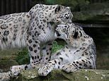 Loved-up leopards Panja and Jessie cuddle up in their wildlife park enclosure