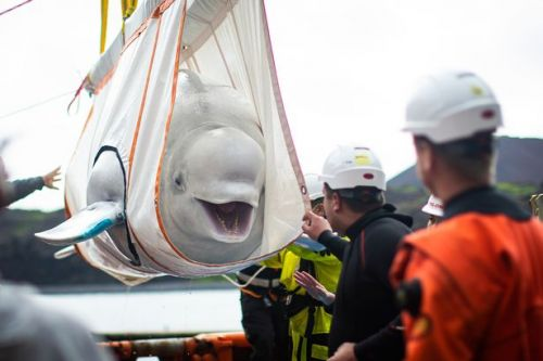 Two beluga whales transported to refuge 6,000 miles away in astonishing pictures