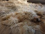 Images of dogs and cats camouflaged against soft furnishings have become a hit during lockdown
