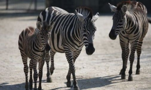 Why do Zebras have stripes? Scientists make staggering discovery that changes EVERYTHING