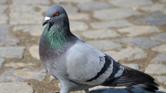 How dangerous are pigeon droppings?