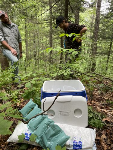 The Northeast's hemlock trees face extinction. A tiny fly could save them