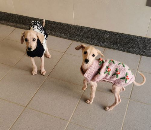 Balding puppies nursed back to health with specially-made Christmas jumpers