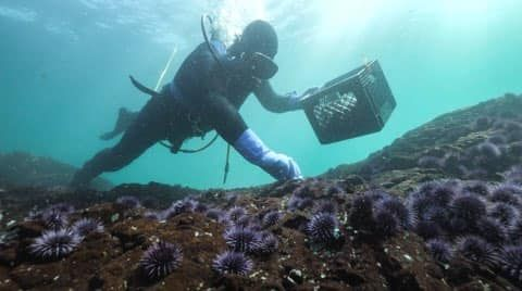 These urchin slayers are trying to save California's underwater 'rainforest'