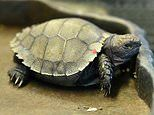 Pet tortoises are being eaten ALIVE by hungry rats deprived of kitchen scraps during lockdown
