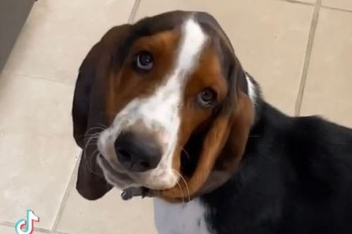 Basset Hound happily gnaws on own ears and doesn't need chew toys