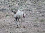 Rare albino camel is captured on camera at a nature reserve in China
