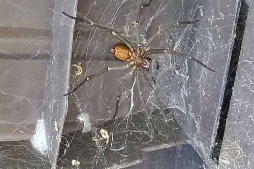 Man's nightmare as 'deadly' 8 INCH SPIDER on the loose in sleepy English town