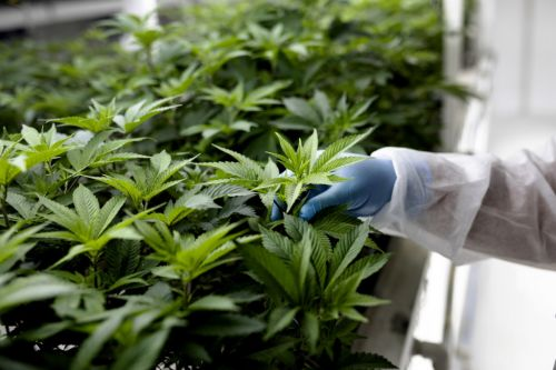 UN removes cannabis from list of world's most dangerous drugs