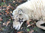 Three more animals found slaughtered where dead sheep was found covered in black magic pentagrams