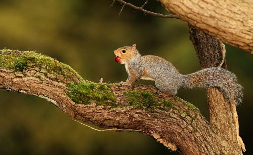 Squirrels are left or right-handed and their orientation affects intelligence