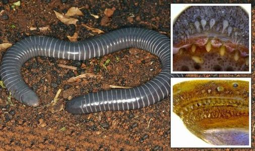 Fang-static: Biologists discover 'extraordinary' worm-like creature with venomous FANGS