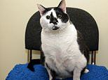 Rescue staff put fat cat on a strict diet after 21lb moggy couldn't clean herself