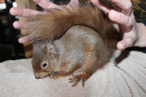 Man nurses poorly squirrel back to health - with digestive biscuits and fruit smoothies