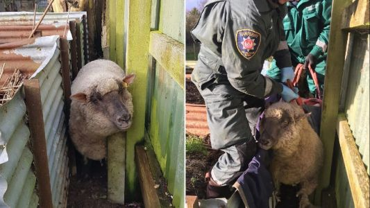 'Very fat' sheep Yum Yum is rescued by fire crews after getting stuck
