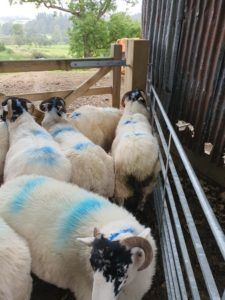 Sheep worth thousands of pounds stolen as police warn of devastating impact of livestock theft