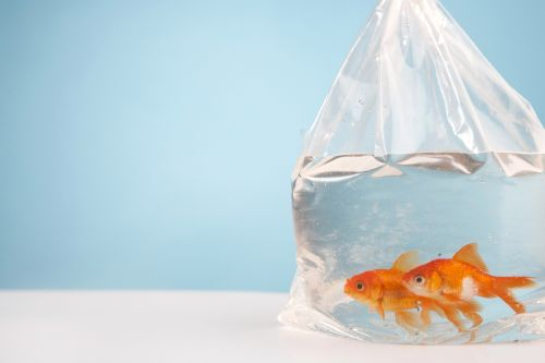 Maid of honour forced to deal with 99 dead goldfish which bride insisted on using as wedding favours