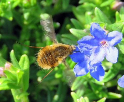 Fly of the month - bee-flies