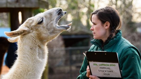Coronavirus: how llama blood could save seriously ill Covid patients