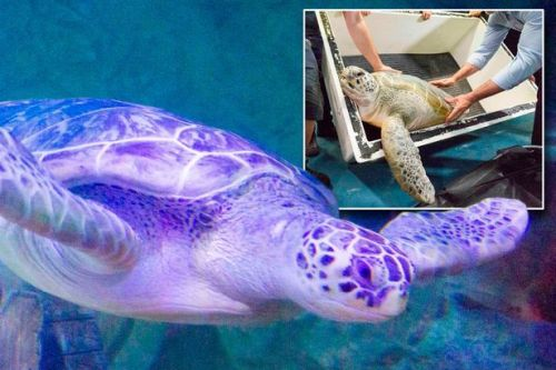 Turtle destined to be turned into soup is rescued and finds new home in the UK