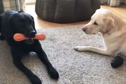 Scots sports commentator provides hilarious voiceover to his dogs' toy battle