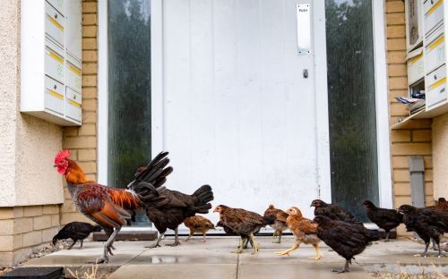 Chickens run wild around Norfolk housing estate leaving posties scared to deliver their mail