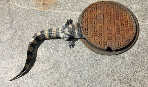 How reptiles in the city went from native species to urban legend