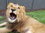 Female zookeeper is attacked by a LION and suffers serious wounds to her neck and head