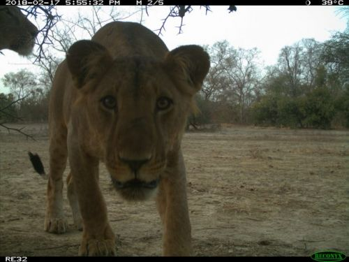 West African lions show no preference between national parks and hunting zones