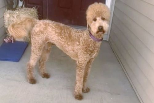 Embarrassed dog fuming with owner after groomers made her look like an 'alpaca'