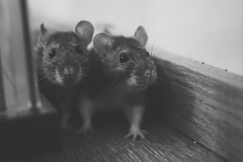 Britain being overrun by 'randy rodents'