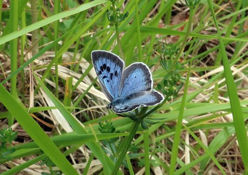 Large blue butterfly spreads its wings over the Cotswolds for first time in 150 years