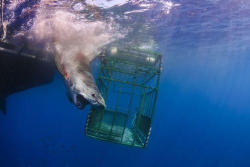 Stunning wildlife snaps show shark attacking diver's cage and elephant ramming car