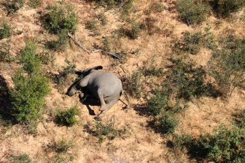 Mystery as 275 elephants suddenly drop dead in Africa but poaching is ruled out
