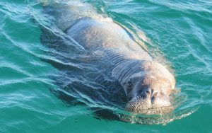 Why is Wally the Walrus climbing aboard boats? Fascinating facts about walruses