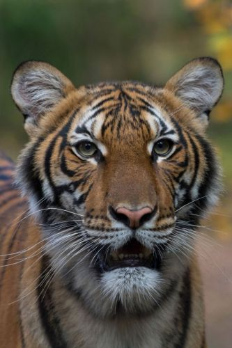 Tiger at Bronx Zoo tests positive for coronavirus after 'being infected by asymptomatic keeper'