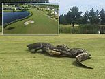 Shocked golfer films moment two alligators fight on the 18th hole of a South Carolina golf course