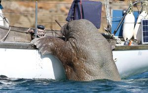 Wally the Walrus - boat owner films incredible encounter in Isles of Scilly