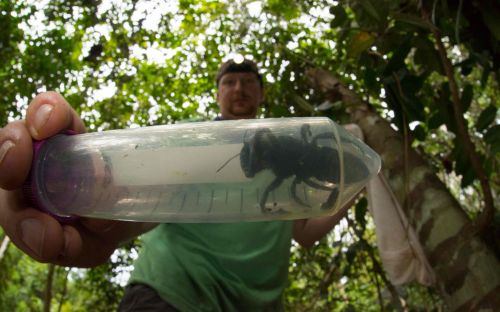 World's largest bee found in Indonesian rainforestin 'holy grail' discovery